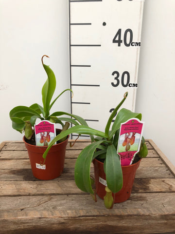 Pitcher Plant - Asian - 4""