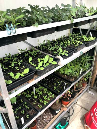 Shelving filled up with trays of annual seedlings