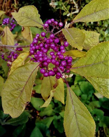 Purple berries with yellow-gold leaves.