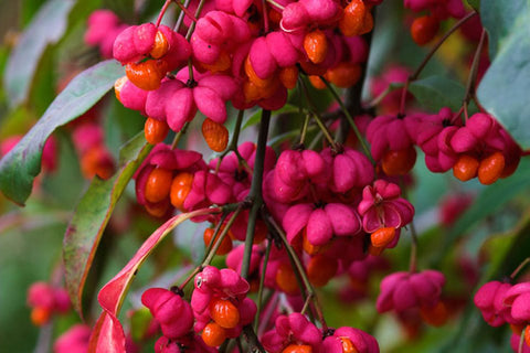 Euonymus europaeus - Plant of the Week from Norfolk School of Gardening