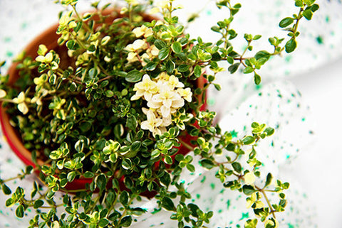 Foxley Thyme Christmas Herb