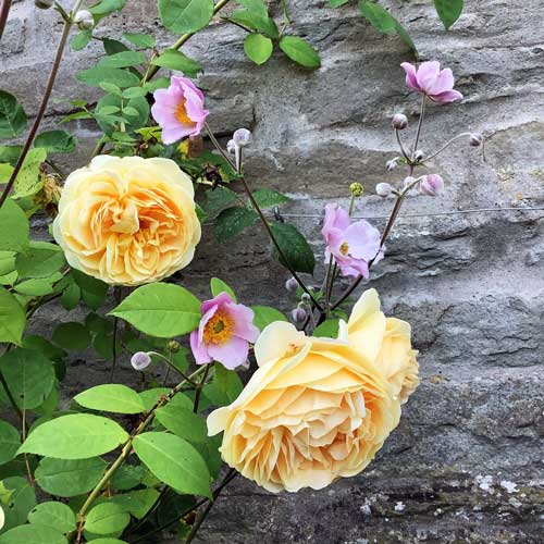 Teasing Georgia yellow rose climbing up a stone wall with small pink flowers - Japanese Anemone - interspersed.