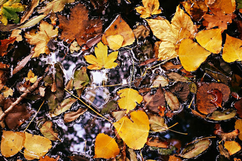 Autumn leaves in puddle - perfect for mulching