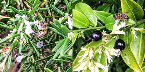 Honey bees collection pollen from winter flowers on rosemary and saroccoca