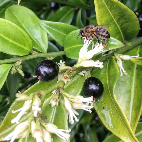 Sarcococca confusa flowers and black berries in January with bee