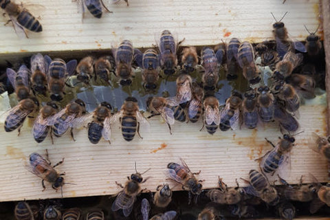 A young swarm hive, making honey in late summer.