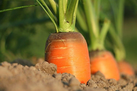 Fresh Carrots to be pulled from ground
