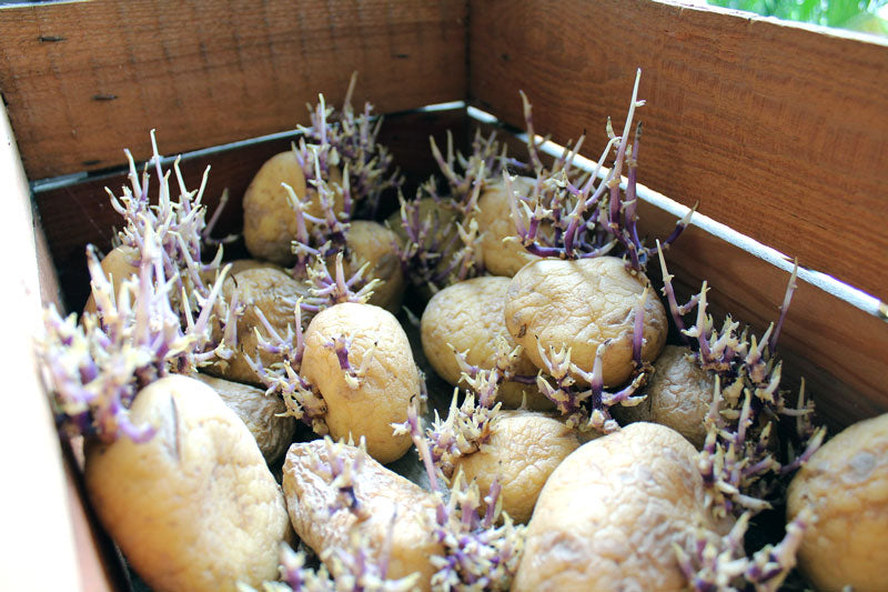 wooden crate with chitting potatoes