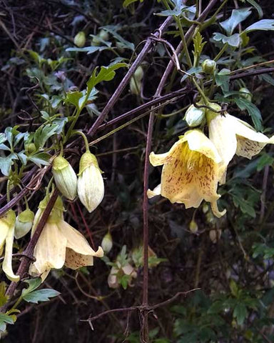 Pale yellow bell-shaped flowers with red freckles on the inside of the petals.