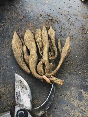 dahlia tuber snipped and tidy after overwintering