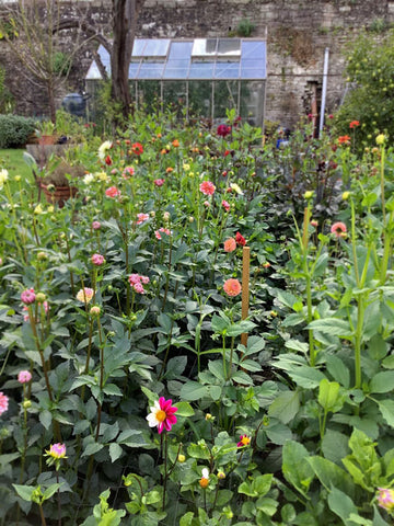 A view of the dahlias and greenhouse