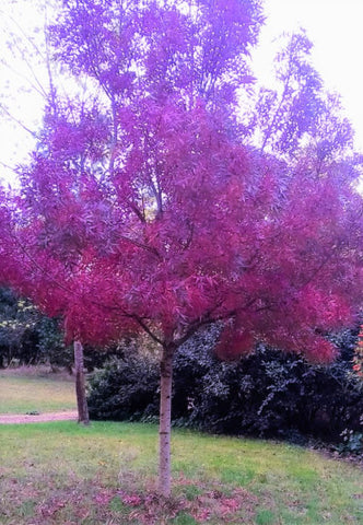 Fraxinus angustifolia 'Raywood' or Claret Ash - Plant of the Week from Norfolk School of Gardening