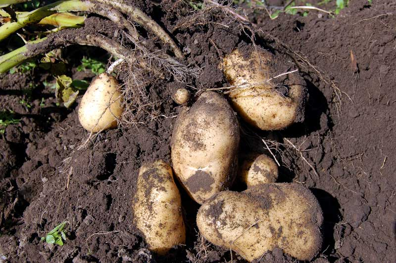 Potato plant partially pulled up from the earth to reveal tubers (i.e. potatoes)