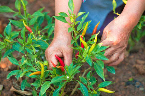 picking fresh chillies by hand