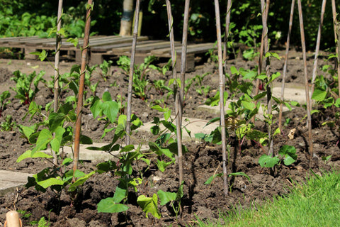 Young climbing plants with canes
