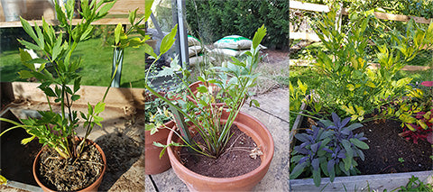 Lovage grows to fill the space it is given. Herb growing tips from Hawkwell Herbs