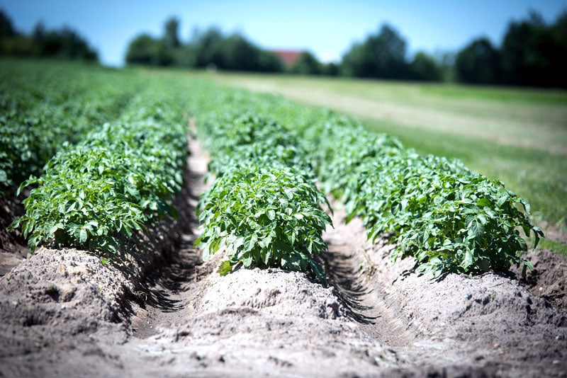 Rows of potato plants in a field with mounded earth around the plants