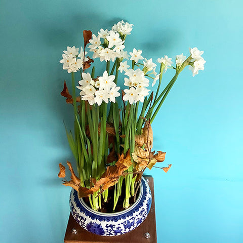 Paperwhite bulbs in a vase