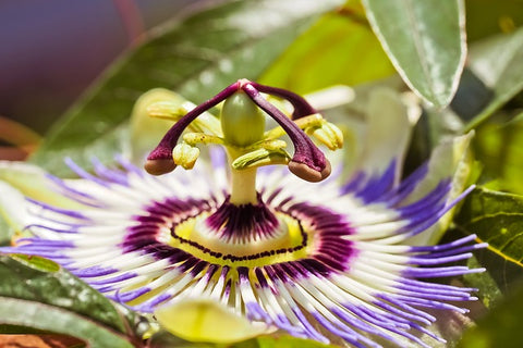 Passiflora or Passion Flower - Plant of the week from Norfolk School of Gardening. Horticulture experts and friends to Rhino Greenhouses.