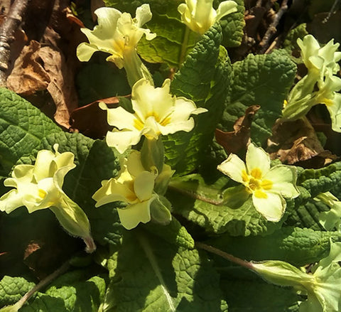 Primula vulgaris - the common primrose coming out early spring