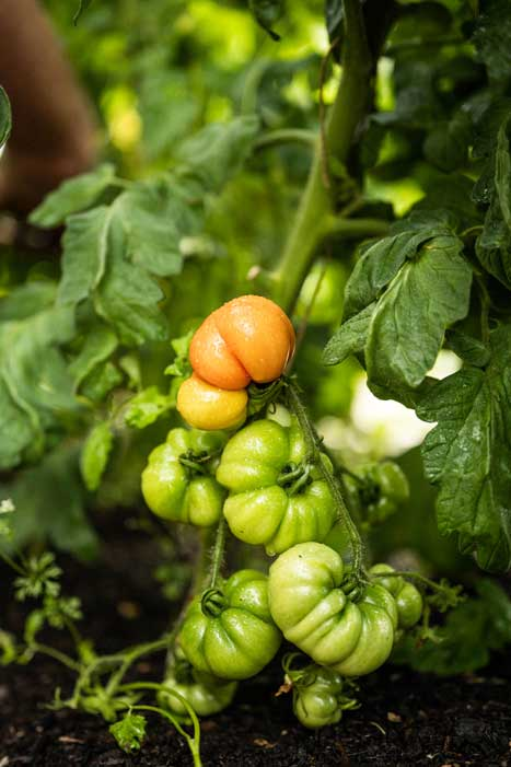 Large tomatoes on the vine, one at the top starting to turn orange, while bulbous fruits beneath remain green.