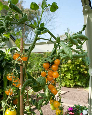 Tomato plant inside Rhino greenhouse, supported by canes