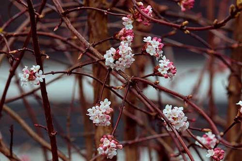 Clusters of small pink/white flowers on bare branches in winter