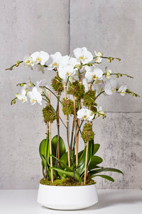 White orchids, white planter