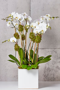 LAYER white phalaenopsis orchids, white planter