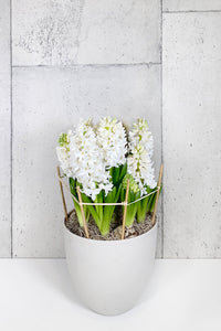 LAYER Prospect large white spring tulips, white planter