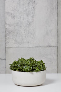 "LAYER NY FULTON JADE SUCCULENT 10""X7"" WHITE PLANTER"