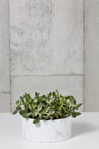 LAYER Variegated Jade Money Plant, white marble planter