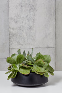 "Layer NY Duane Flapjack Kalanchoe 11"" x 10"" succulent in black planter"