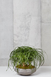 Layer NY Clarkson Tropical Ponytail Palm in grey cement pot