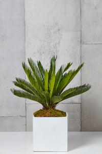 LAYER CEDAR Sago Palm, white planter