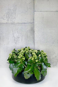LAYER - Bedford Large Flowering Kalanchoe Succulent, Black planter