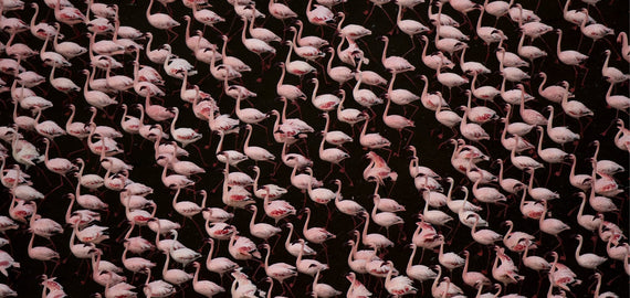 Stand of Flamingos