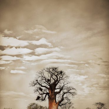 Baobab Hierarchy No.5