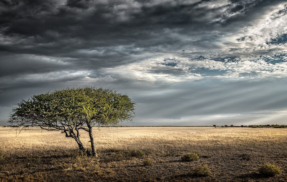 Lone Ghost Tree