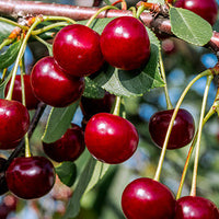 Cherry Featured Ingredient - L'Occitane