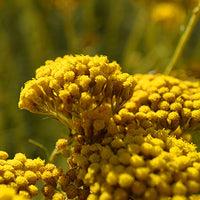 Immortelle Featured Ingredient - L'Occitane