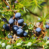 Juniper Featured Ingredient - L'Occitane