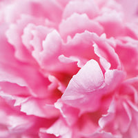 Peony Featured Ingredient - L'Occitane