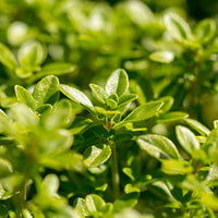Thyme Featured Ingredient - L'Occitane
