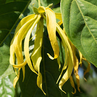 Ylang_Ylang Featured Ingredient - L'Occitane