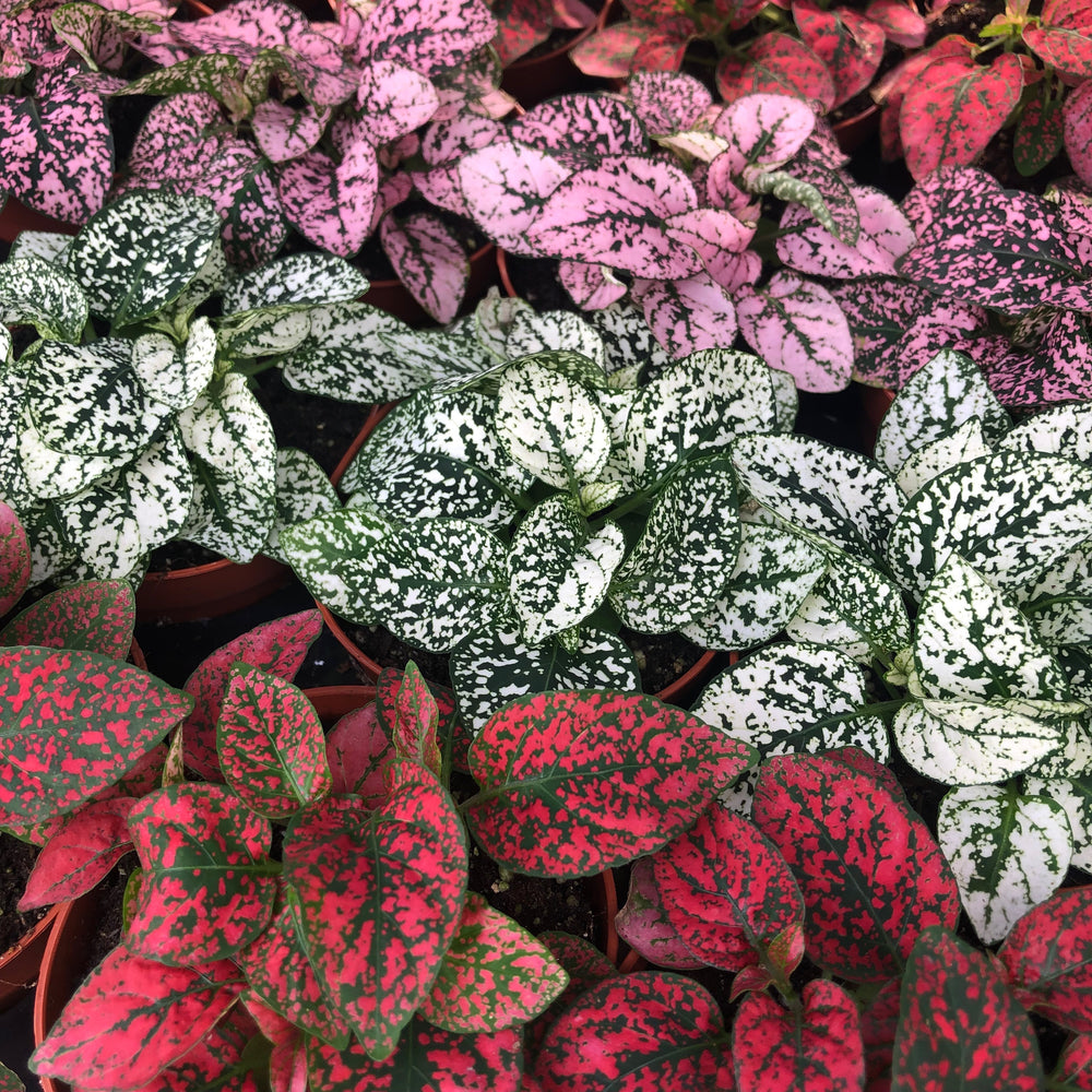 Pro Rep Live Plant Fittonia Mix (Medium)