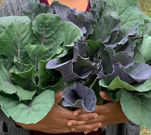 image of brown hands holding large vibrant bunches of purple and green collard leaves.