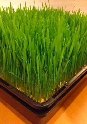Trays for sprouting Wheat Grass or Barley Grass - AusPots Permaculture