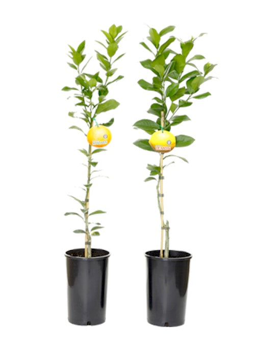 250mm Round Tall Pots for Citrus