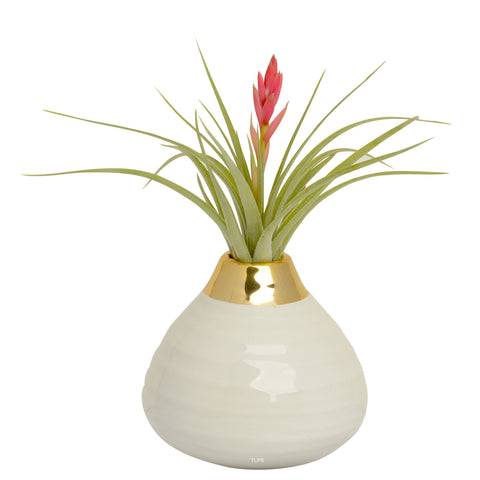 Blooming Airplant + Vase